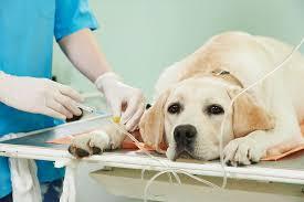 Chien euthanasie : déroulement et prix de l'euthanasie - Ooreka