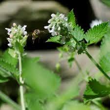 Cataire (herbe aux chats) - Bio - Jardins de l'écoumène
